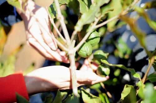 dành 22.000 tỷ đồng trồng cây mắc ca