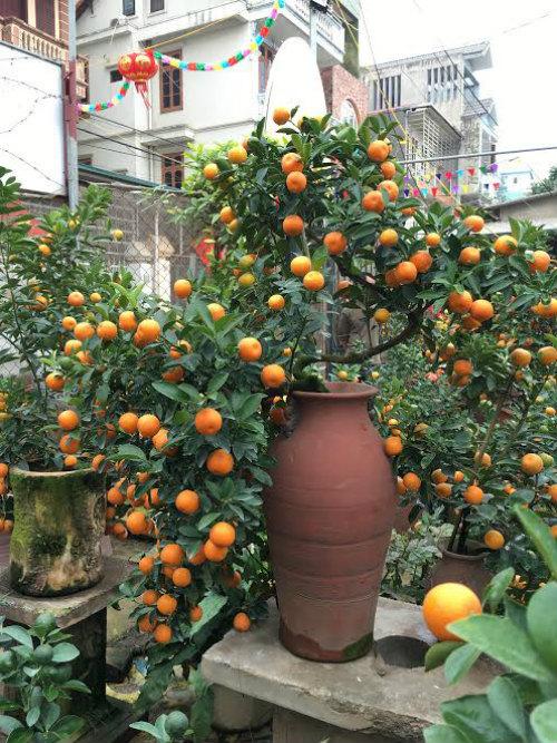 Quất bonsai thế gà gây sốt thị trường cây cảnh dịp Tết Nguyên đán