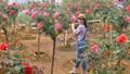 """Bỏ ngân hàng đi trồng hoa, chàng trai gây dựng vườn hồng bạc tỷ """"đẹp vạn người mê"""""""