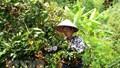 Sơn La: Sản phẩm nhãn Sông Mã vươn ra thị trường quốc tế