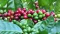 Giá cà phê ngày 16/10 tăng vượt mốc 37.000 đồng/kg