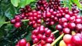 Giá cà phê ngày 17/7/2018 nhích nhẹ 100 đồng/kg