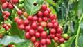 TT cà phê ngày 22/8: Giá tiếp nối đà hồi phục, tăng nhẹ 100 đồng/kg