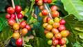 TT cà phê ngày 22/01: Giá hồi phục mạnh, Đắk Lắk gần chạm mốc 32.000 đồng/kg