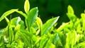 TT nông sản ngày 09/7: Hạt điều, chè xuất khẩu tăng về lượng trong 6T/2020