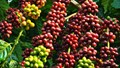 Cà phê châu Á: Nguồn cung Việt Nam ổn định nhưng giao dịch yếu