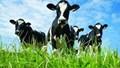 Ngành chăn nuôi gia súc ăn cỏ còn nhiều dư địa phát triển thị trường