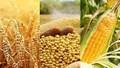Giá ngũ cốc hôm nay 25/10: Lúa mì đạt mức cao nhất trong ba tuần do nhu cầu toàn cầu tăng mạnh