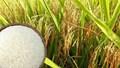 Thị trường lúa gạo ngày 25/2: Giá tương đối ổn định