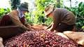 Giá cà phê xuất khẩu tăng tại nhiều thị trường
