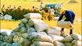 Giá gạo xuất khẩu tuần 24/2-2/3/2018