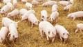 Giá lợn hơi ngày 15/3/2018 tại miền Nam tăng