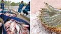 Tin đáng chú ý 19/6/2019:Giá tôm, cá tra giảm; Nhật kiểm tra thủy sản có vỏ NK