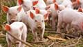 Giá lợn hơi ngày 3/12/2019 tại các công ty chăn nuôi lớn tăng