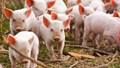 Giá lợn hơi ngày 26/1/2021 tương đối ổn định