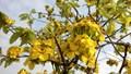 Du lịch Hạ Long tháng 3 ngắm mai vàng khoe sắc cùng hoa anh đào