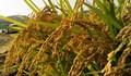Sản lượng gạo của Hàn Quốc sẽ giảm 3% trong năm 2020