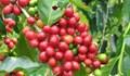 Cà phê: Một niên vụ thất bát