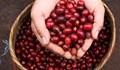 TT cà phê tuần 20: Lao dốc nhiều phiên liên tiếp xuống dưới mức 31.000 đồng/kg