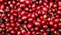 TT cà phê ngày 20/8: Đồng loạt giảm, giá nhiều nơi về dưới mốc 33.000 đồng/kg