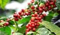 TT cà phê ngày 24/5: Giá hồi phục trên diện rộng