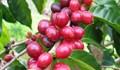 TT cà phê ngày 10/12: Giá lên nhẹ 100 đồng/kg