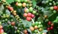TT cà phê ngày 16/01: Giá toàn vùng nguyên liệu tiếp tục đi lên