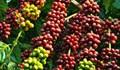 Cà phê châu Á: Xuất khẩu của Việt Nam sôi động do giá cao