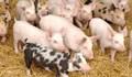 Giá lợn hơi ngày 22/1 ổn định trên thị trường cả nước
