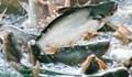 Xuất khẩu cá tra sang Mỹ 'lao dốc' trong 8 tháng đầu năm