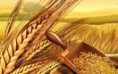 Báo cáo của IGC về thị trường ngũ cốc thế giới