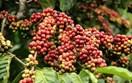 Bán cà phê như thế nào cho hiệu quả?