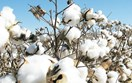 Báo cáo của USDA về thị trường bông thế giới
