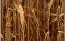 Giá nông sản và kim loại thế giới ngày 21/10/2020
