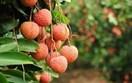 Đẩy mạnh tiêu thụ nông sản: Bắc Giang lên các phương án tiêu thụ vải thiều