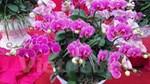 Thị trường hoa lan chơi Tết: Giá tăng cao nhưng vẫn đắt khách