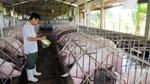 Năm 2018, Hòa Phát sẽ cung cấp lợn thịt và lợn giống cho thị trường