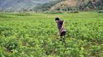 Ngành dâu tằm tơ Việt Nam trước mối lo từ Trung Quốc