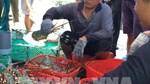Ngành tôm ứng phó với áp lực nguồn cung tăng (Bài 1):Giá giảm sâu, người nuôi lao đao