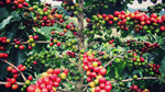 ICO: Ước tính sản lượng cà phê thế giới năm 2019 - 2020 giảm nhẹ