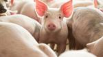 Diễn biến giá thịt lợn và nỗ lực của các cơ quan QLNN để bình ổn thị trường