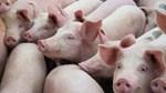 Bộ NN&PTNT quyết liệt ngăn chặn tái phát dịch tả lợn Châu Phi