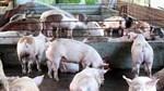 Dịch tả lợn tại Trung Quốc tiếp tục lan rộng, tiêu hủy gần 1 triệu con