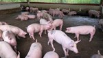 Giá thịt heo Trung Quốc tăng gần 70% trong tháng 9