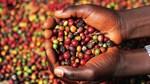 Thế giới sẽ thiếu hụt cà phê trầm trọng trong vụ tới