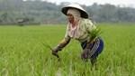 Giá gạo toàn cầu sắp tăng 15-20% do El Nino