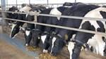 Sản lượng sữa New Zealand dự báo giảm mạnh nhất hơn 20 năm