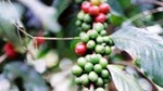Giá cà phê trong nước ngày 27/7/2017