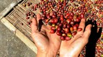 Hạn hán kéo dài gây thiệt hại lớn cho người trồng cà phê Brazil