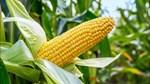 Nhóm nông sản phần lớn đang đi ngang do thiếu thông tin cơ bản hỗ trợ